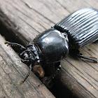 Passalid Beetle