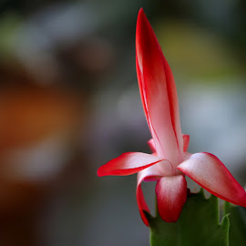 Late Christmas Cactus  by Chrissie Barrow - Nature Up Close Other plants ( macro, red, green, white, bud, bokeh, flower, christmas cactus, closeup, cactus )