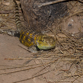 Grand Canyon Lizard by Jeana Caywood - Animals Reptiles ( lizard, colorady river, grand canyon,  )