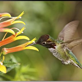 Hummingbird at AZ Desert Museum by Stephan Guenot - Animals Birds