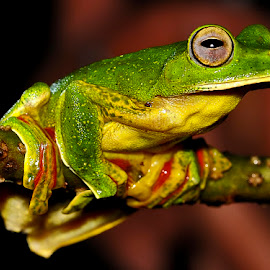 by Sathya Vagale - Animals Amphibians