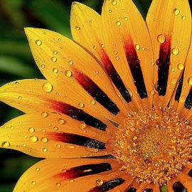 liquid Gold by Akshobh Sah - Flowers Single Flower