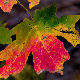 Maple Leaf Closeup by Karen Martin - Landscapes Forests ( az, green, colors, leaf, yellow, leaves, west fork, maple, red, leafs, flagstaff, autumn, color, arizona, fall, gold, sedona, oak creek )