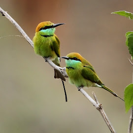 Green Bee-eaters by Sankaran Balaji - Animals Birds ( animals, style, nature, green bee-eaters, birds )