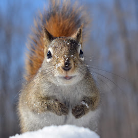 Hello, I am back by Isabelle VM - Animals Other Mammals ( winter, snow, red squirrel, closeup, animal,  )