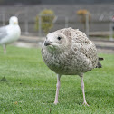 European Herring Gull (young)