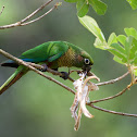 Maroon-bellied parakeet