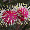 Pincushion hakea