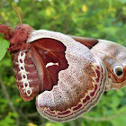 Promethea Silk Moth
