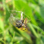 Orb weaver and prey