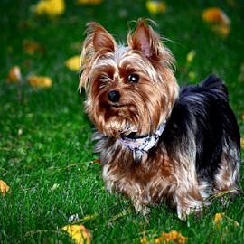 My baby by Tracey Doak - Novices Only Pets ( yorkie, yorkshire, furry, fall, dog,  )