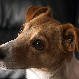 Millie by Darrell Evans - Animals - Dogs Portraits ( canine, jack russell, hound, ears, head, dog, eyes )