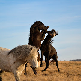 horses battle by Ivan Mladina - Animals Horses