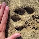 mountain lion tracks (and droppings?)