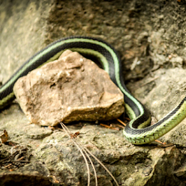 by Keri Zimmerman - Animals Reptiles