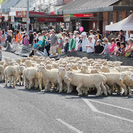Sheep Parade by Winkie Chau - News & Events Entertainment ( parade, event, sheep, festival, fun, people )