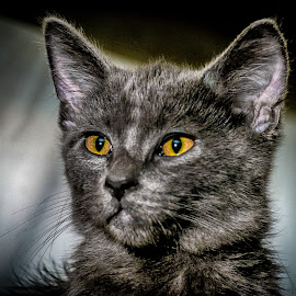 Yellow Eyes by Andrew Butcher - Animals - Cats Kittens ( kitten, cat, yellow eyes, gray, eyes )