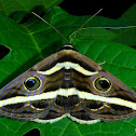 White Banded Noctuid Moth