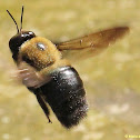 Common Eastern carpenter bee, male