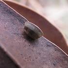 Blattellidae (ootheca)