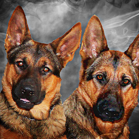 Ruger and Maggie by Dawn Vance - Animals - Dogs Portraits ( breed, cute, natural background, curious, sable and tan, family, pets, mamal, german shepherd, animal, pedigree, animalia, male, adult, portrait, close-up, sit, canine, resting, sitting, animal kingdom, female, pet, zoology, rest, dog, companion dog, artificial light )