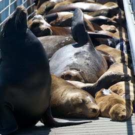 California Sea Lions by Wade Tregaskis - Animals Sea Creatures ( lion, sea lions, sea lion, california, sea, lions, juvenile )