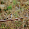white necked munia