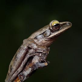 sleepy  by Hendrata Yoga Surya - Animals Amphibians ( common tree frog, frog, katak pohon, amphibians )