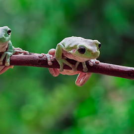 What Are You Looking At ...Darling? by Vincent Sinaga - Animals Amphibians