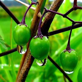 Green drops 3 by Gordana Cajner - Nature Up Close Natural Waterdrops