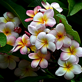 Pink Frangipani 46 by Mark Zouroudis - Flowers Flowers in the Wild (  )