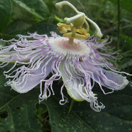 Passion flower by Stephanie Dunn - Nature Up Close Other plants