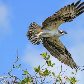 Juvenile Osprey by Troy Wheatley - Animals Birds ( bird, flying, nature, raptor, osprey )