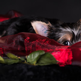 Secret romance by Martin Zenisek - Animals - Dogs Puppies ( rose, jorkshire terrier, color, puppy, romance,  )