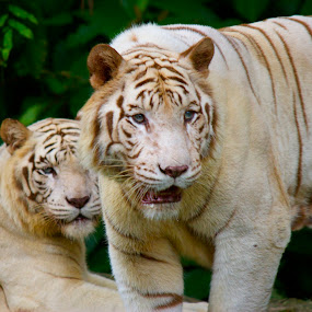 She is Mine  by Sambit Ghosh - Animals Lions, Tigers & Big Cats ( wild, white tiger, tiger, zoo, singapore )
