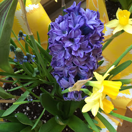 daffodils and purple Hyacinth by Clara Scarano Scubla - Novices Only Flowers & Plants ( purple, daffodills, yellow, hyacinth )