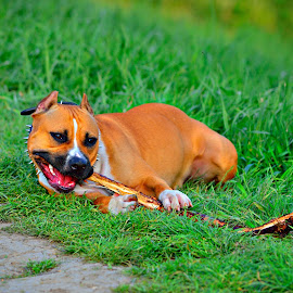 just playing by Danca Emanuel - Animals - Dogs Playing (  )