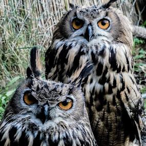 I love Owls! by Ethan Fox Miles - Animals Birds (  )