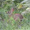 conejo de cola de algodón - cottontail rabbit