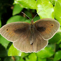 Meadow Brown Butterfly  ♂
