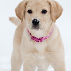 by Beaver Tripp - Animals - Dogs Puppies ( winter, 2014, mia, puppy, lab )