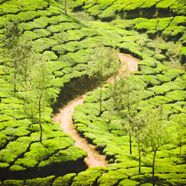 Tea Gardens by Sristi Yadav - Novices Only Landscapes ( pathway, green, trees, landscape, tea, tea gardens )