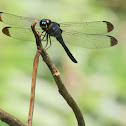 Dark-Tipped Forest-Skimmer Cratilla metallica