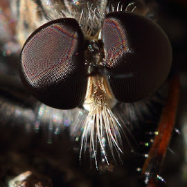 Damselfly eyes by Kevin Burfitt - Animals Insects & Spiders ( macro, damselfly, australia, insect, garden )
