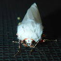 Moth laying Eggs