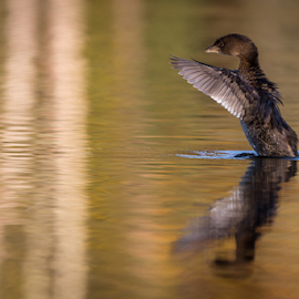 Duck Dance by Paul Judy - Animals Amphibians ( water, vasona, los gatos, autumn, california, duck )