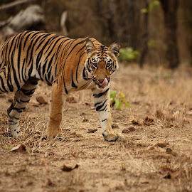 SUB ADULT TIGER in TADOBA, India by Sathya Vagale - Animals Lions, Tigers & Big Cats