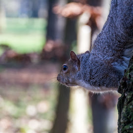 Curious squirrel by Pietro Ebner - Animals Other Mammals (  )