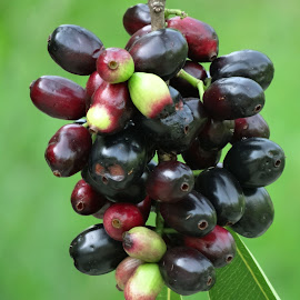 black berry by Asif Bora - Food & Drink Fruits & Vegetables