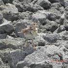 Oriental Skylark (Alauda gulgula